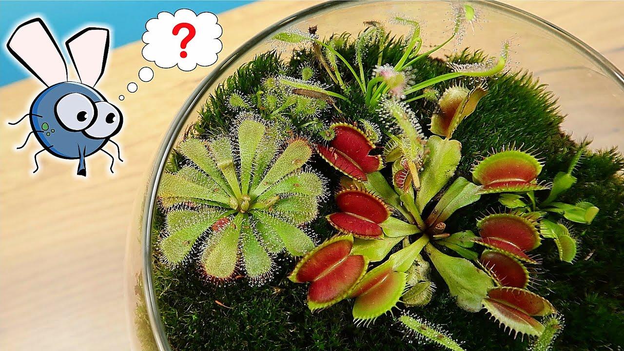 Росянка наелась Мушек дрозофил! Террариум с хищными растениями месяц спустя!