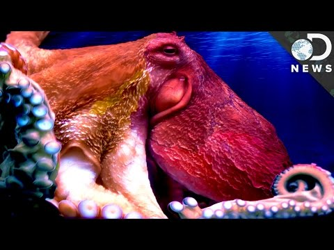 Understanding The Weird Anatomy Of An Octopus