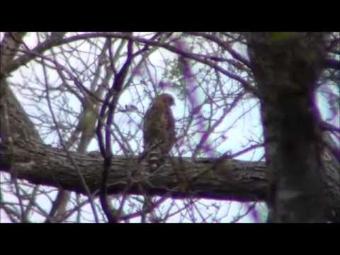 Texas Hawk Stalk Prey Below