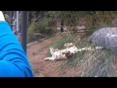 Snow Leopard meets a Pumpkin at San Diego Zoo