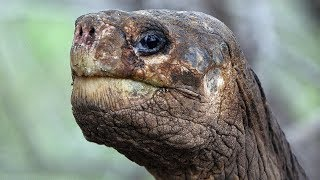 В Эквадоре вернут к жизни вымерший вид слоновых черепах (новости)