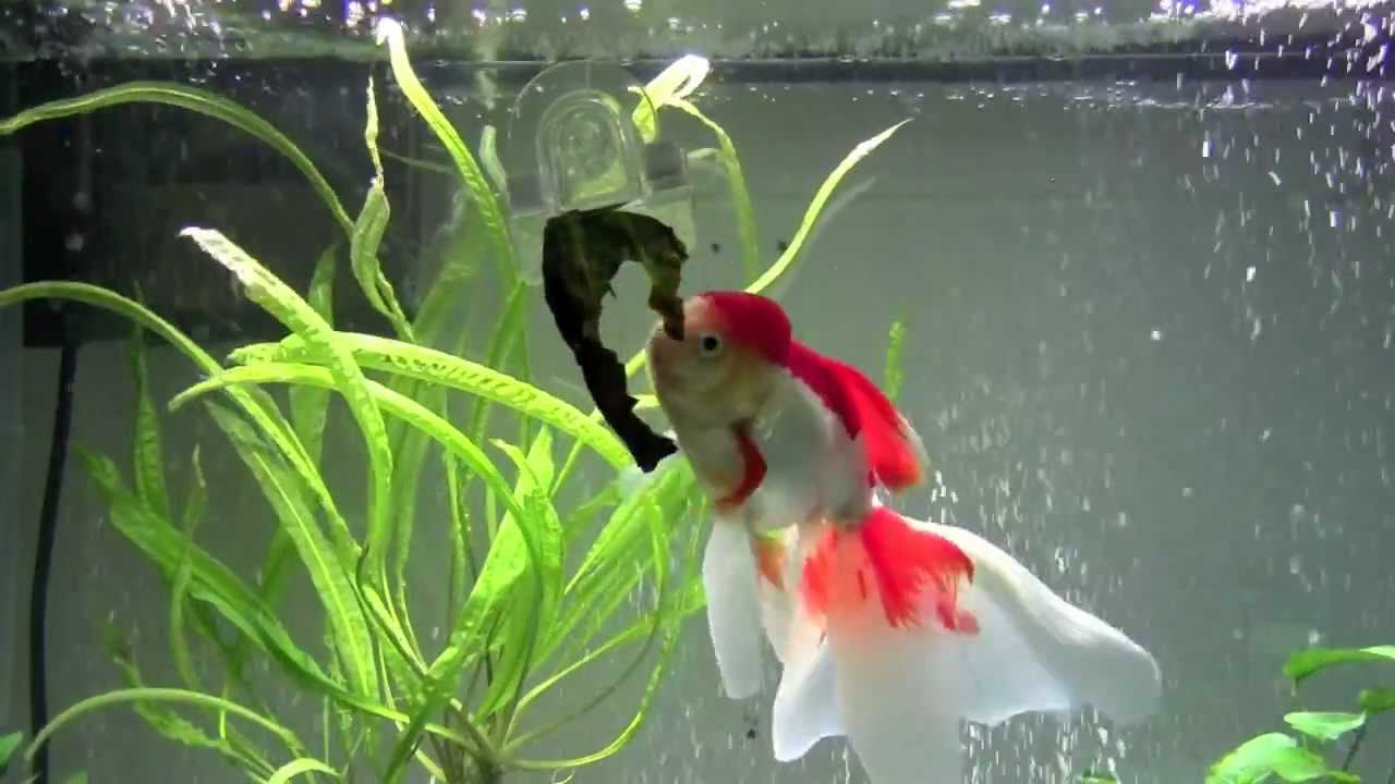 Oranda Eating Lettuce in Double Time
