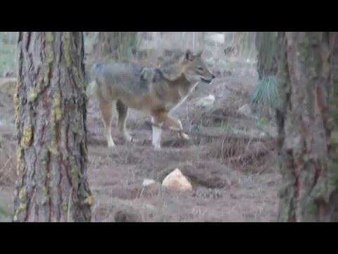 серый волк знакомства