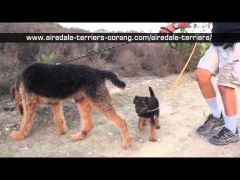 Mountain Airedale Terrier puppy walk