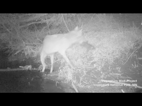 Minnesota Wolves Captured On Video Hunting Fish