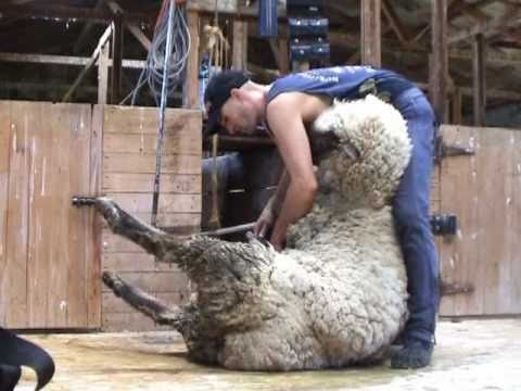SHEEP SHEARING NEW ZEALAND