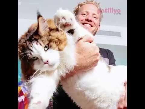 Bu Kedi Şişman Değil Sadece Kocaman! Kedi Samson