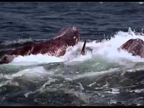 Нападение касаток на длинного кита-полосатика