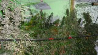 Flood&DrainGanja.wmv(Another successful production of the Cannabis with some unfortunate circumstances. Same set-up: Two 1000Watt MH lights placed on a light mover for veg., 2010-07-19T01:32:50.000Z)