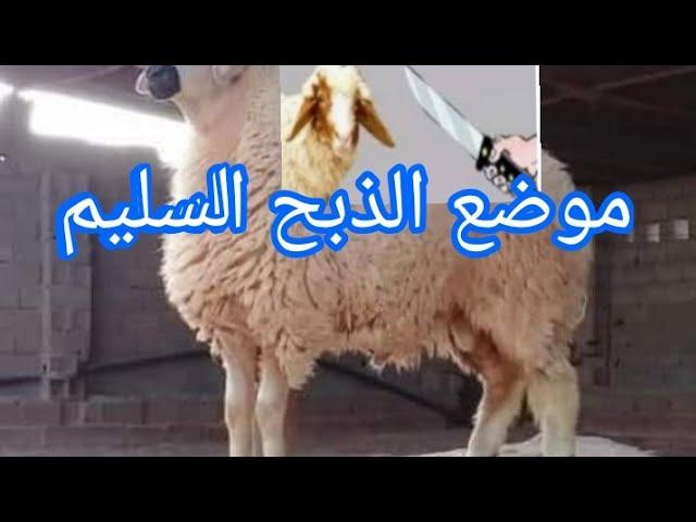 أضحية العيد وطريقة القربة في سلخ الخروف وموضع الذبح السليمة Youtube