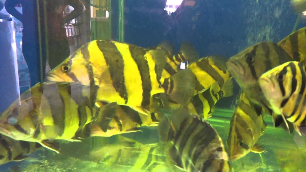 Siamese Tigerfish (Datnioides microlepis / Coius microlepis), with ...