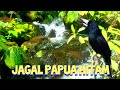 Pancingan Jagal Papua Hitam  Mp3 - Mp4 Download