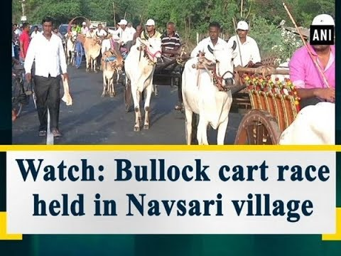 Watch: Bullock cart race held in Navsari village - Gujarat News