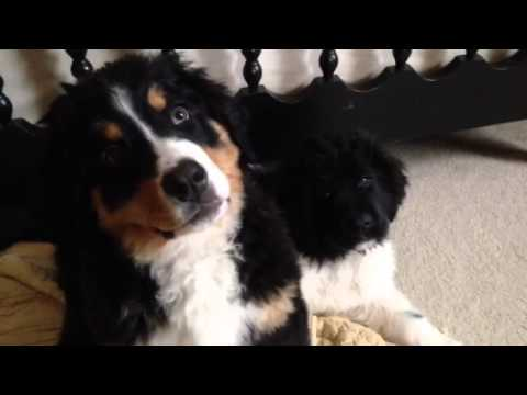 bernese mountain dog and landseer newfoundland puppies youtube. Black Bedroom Furniture Sets. Home Design Ideas
