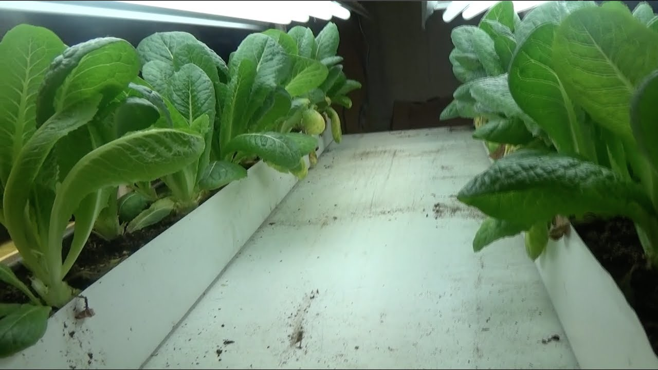 Lettuce Growing In A Rain Gutter Planter Step By Step How