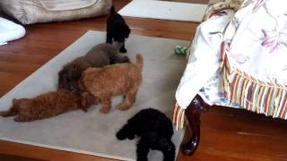 Apricot And Black  Miniature Poodle Puppies In North Carolina
