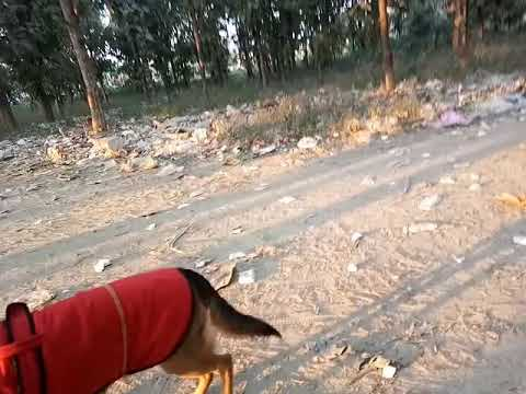 German Sheppherd Trying To Befriend With Desi Dogs :)