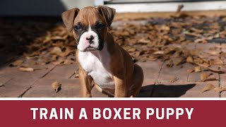 How to Train a Boxer Puppy | How to train a boxer puppy to sit | How to train a boxer puppy to come