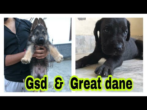Gsd & Great Dane Puppies Available