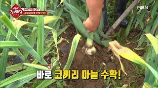 초대형 마늘 수확 현장!