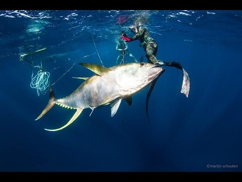 Spearfishing  Panama 85 Kg yellowfin Tuna Spearfishing - Blue water hunting with ADZHOO