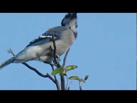 Blue Jay Calling