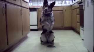 Самая умная собака в мире