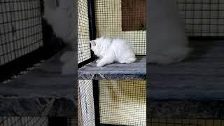 ANSHU.DOG.CARE.9716929043 snow white kitten for sale at Delhi