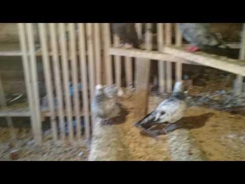 Тугулымские голуби
