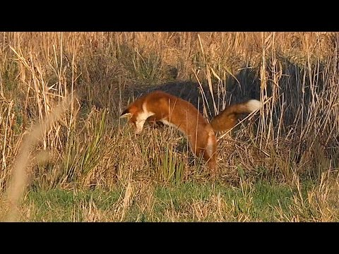 Foxes Hunting and a Goldcrest on Walthamstow Marshes - London Wildlife