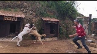 KANGAL VS DOGOARGENTİNO  PABLO YİNE OYUNU BOZDU baronla halat oyunu oynarken pablonun sataşması #dog