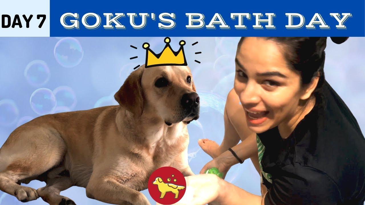Dog Bathing At Home | Labrador | Goku's Bath Day | Shikha Singh Shah