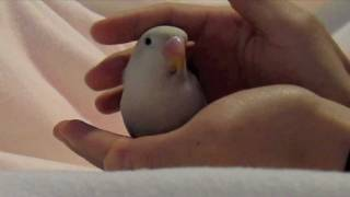 Hand-taming baby Lovebird: The first two days.
