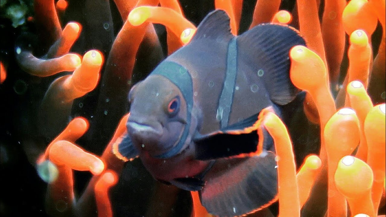 Ananomie Videos amazing sea creatures: most beautiful sea anemones
