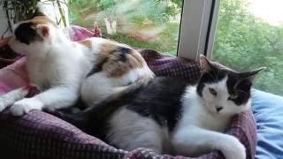 Две кошки уживаются | Учит быть домашним котом