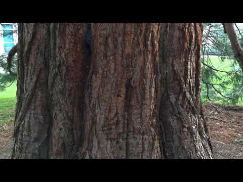 Giant redwood (Sequoiadendron giganteum) - trunk close up - February 2018