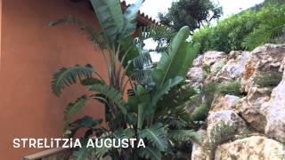 Strelitzia augusta. Garden Center online Costa Brava - Girona.(Strelitzia augusta. Garden Center online Costa Brava - Girona. Web: http://personalgardenshopper.es/, 2014-11-26T18:16:42.000Z)