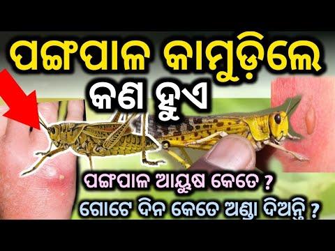 ପଙ୍ଗପାଳ କାମୁଡ଼ିଲେ କଣ ହୁଏ ଜାଣି ଆଶ୍ଚର୍ଯ୍ୟ ହେବେ  locust In Odisha odia Professor   