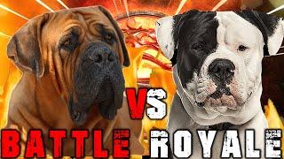 Boerboel vs American Bulldog | American Bulldog vs Boerboel | Powerful Guard Dog ? | Billa Boyka |