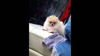 Spitz Nain / Pomeranian