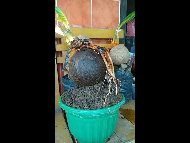 Tutorial cara perawatan bonsai kelapa supaya menghasilkan akar yang baik