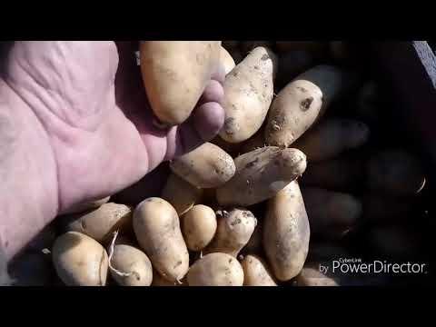Вопрос: Сорт картофеля Бельмондо описание, характеристики, отзывы какие?
