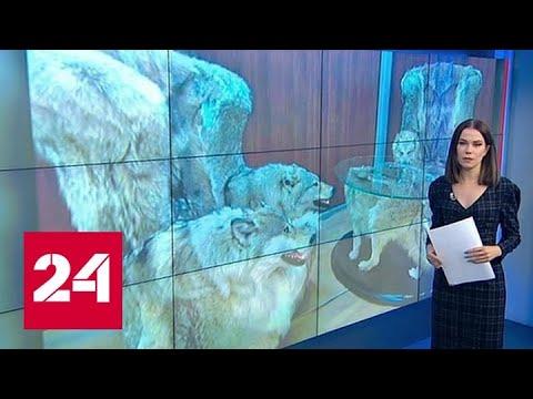 Мебель со шкурами и головами волков возмутила дагестанцев - Россия 24