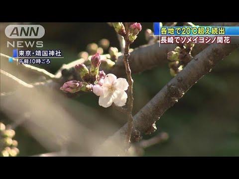 長崎でサクラ開花 お待ちかね「桜前線」スタート(19/03/20) (Việt Sub)