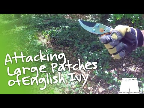 how-to-remove-english-ivy-[large-patch]-|-greenshortz-diy