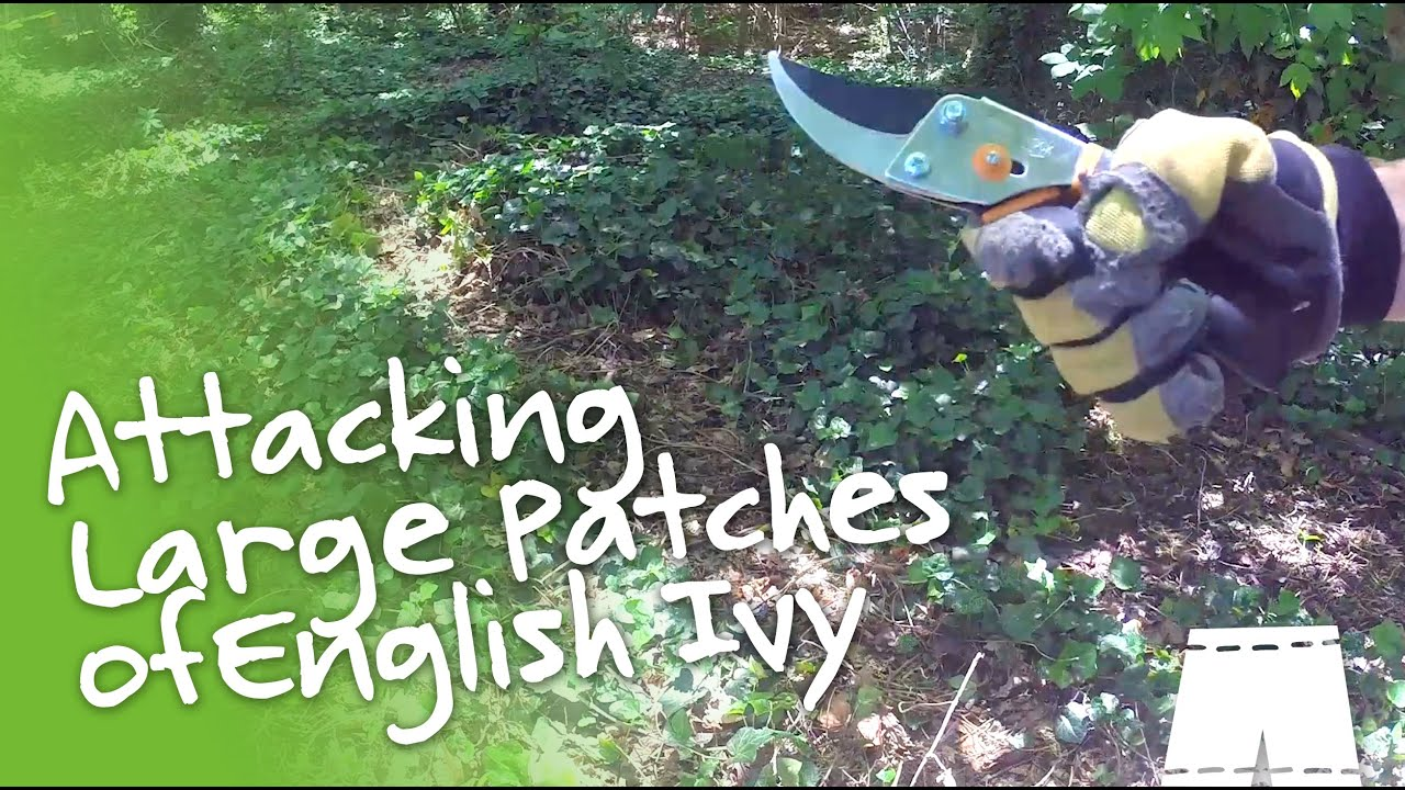 How to Remove English Ivy [Large Patch] | GreenShortz DIY - YouTube