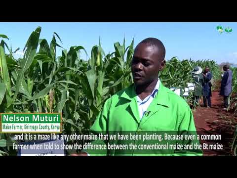 Give me GMO Maize Seed to Plant; Farmer Tells Government After Kiboko GMOs Maize Trial Field Visit