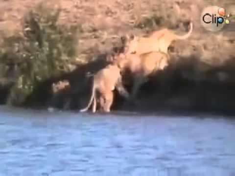Bò rừng tấn công lại sư tử