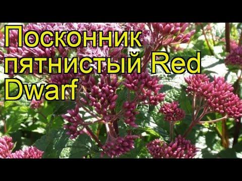 Посконник пятнистый Ред Дварф. Краткий обзор, описание характеристик Eupatorium Maculatum Red Dwarf