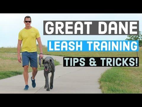 Great Dane Leash Training | Great Dane Care
